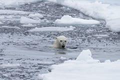 Polar bear`s Ursus maritimus swimm in Arctic sea. Close up royalty free stock photos