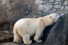 Polar bear. Scratching itself on a stone wall Stock Image