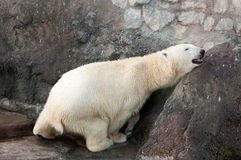 Polar bear. Scratching itself on a stone wall Stock Photography