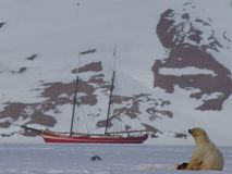 Polar bear on sea ice with ship and mountain Royalty Free Stock Image