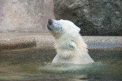 Polar Bear Shakes Stock Photo