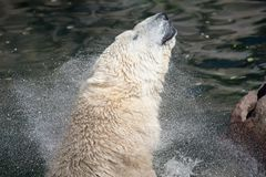 Polar Bear Shakes His Head Royalty Free Stock Photo