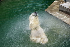 A polar bear shakes off water from Stock Images