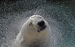 Polar Bear Shaking Royalty Free Stock Photo