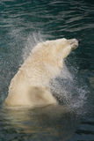 Polar bear shaking dry. Olar bear in the water, shaking himself dry Royalty Free Stock Images