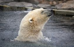 Polar Bear. A polar bear shaking the water off his head royalty free stock photography