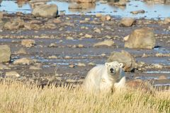 Polar Bear at the shore Royalty Free Stock Photos