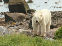 Polar Bear at the shore 1 Royalty Free Stock Photography