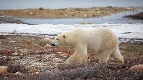 Polar Bear. A polar bear on the shore of the Hudson Bay royalty free stock photo