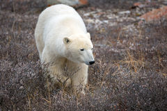 Polar Bear. A polar bear on the shore of the Hudson Bay stock photography