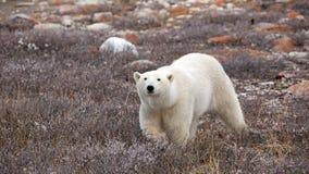 Polar Bear. A polar bear on the shore of the Hudson Bay stock photos