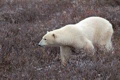 Polar Bear. A polar bear on the shore of the Hudson Bay royalty free stock photography