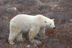 Polar Bear. A polar bear on the shore of the Hudson Bay stock images