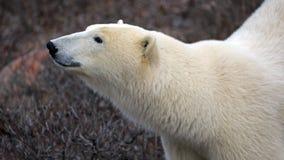 Polar Bear. A polar bear on the shore of the Hudson Bay royalty free stock photos