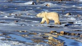 Polar bear. A polar bear on the shore of the Hudson Bay stock photo