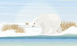 Polar bear on the shore by the sea. Dry grass, snow. Animals of the Arctic Circle. Realistic Vector Landscape royalty free illustration