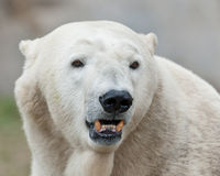 Polar bear shows teeth. Closeup of an adult male polar bear showing his teeth Stock Photography