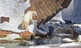 Polar Bear In a Simulated Environment Royalty Free Stock Photography