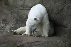 Polar bear. Sitiing in a zoo Stock Image