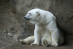 Polar bear. Sitiing in a zoo Royalty Free Stock Images