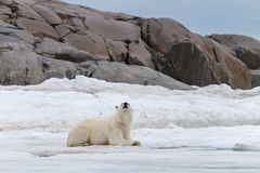 The polar bear is siting on the ice sheet. On the shores of the Spitsbergen archipelago royalty free stock photography