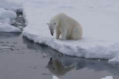 Polar bear on the ice. Polar bear sits on the edge of ice and looks at the reflection in water Stock Photo