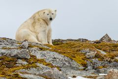 A polar bear sits on the stony snow-capped hill with moss. Of the Spitsbergen archipelago royalty free stock photo