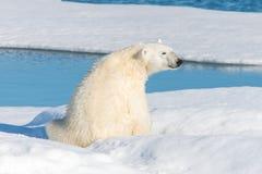 Polar bear sitting on the pack ice north of Spitsbergen Island. Wild polar bear Ursus maritimus going on the pack ice north of Spitsbergen Island, Svalbard royalty free stock photo