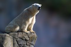 Polar bear sitting. On a rock Royalty Free Stock Images
