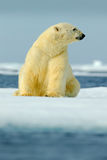 Polar bear sitting on drift ice with snow. White animal in the nature habitat, Canada. Standing polar bear in the cold sea. Polar. Bear, sunny day stock photo