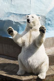 Polar bear sitting on its hind legs Stock Image