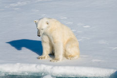 Polar bear sitting. Polar bear on the pack ice north of Spitsbergen stock photo