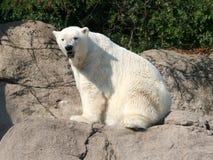 Polar Bear sitting on Rock Royalty Free Stock Photos
