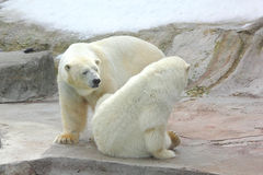 Polar bear. Stock Images