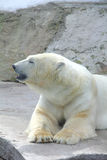 Polar bear. Royalty Free Stock Images