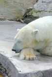 Polar bear. Stock Photos