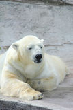 Polar bear. Stock Image