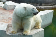 Polar bear Royalty Free Stock Photos