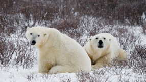 Polar bear sitting in the snow on the tundra. Canada. Churchill National Park. An excellent illustration Royalty Free Stock Image