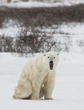Polar bear sitting in the snow on the tundra. Canada. Churchill National Park. An excellent illustration Royalty Free Stock Photo