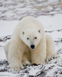 Polar bear sitting in the snow on the tundra. Canada. Churchill National Park. Stock Images