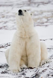 Polar bear sitting in the snow on the tundra. Canada. Churchill National Park. An excellent illustration Royalty Free Stock Photography