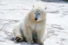 Polar bear sitting in the snow. Wildlife of the North. The Arctic and Antarctic, winter. Wild animal, a predator. White skin is Stock Photos