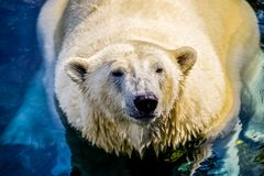 Polar bear chilling in water stock images