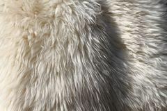 Polar bear skin. As nice animal texture Royalty Free Stock Photography