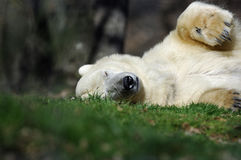 Polar bear sleeping Royalty Free Stock Image