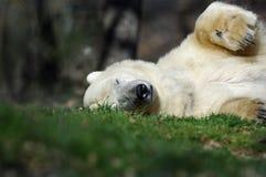 Polar bear sleeping. A polar bear sleeping in Summer royalty free stock image