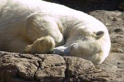 Polar Bear Sleeping. Polar bear asleep on rocks Royalty Free Stock Image