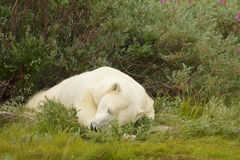 Polar Bear sleeping in the bush. Lazy Canadian Polar Bear sleeping in the the Arctic tundra of the Hudson Bay near Churchill, Manitoba in summer Royalty Free Stock Photos