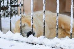 Polar bear sleeping in a cage. In the winter Stock Photos